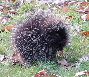 porcupine_9
